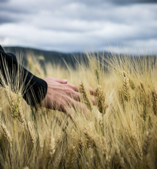 photo-of-a-person-s-hand-touching-wheat-grass-2228306